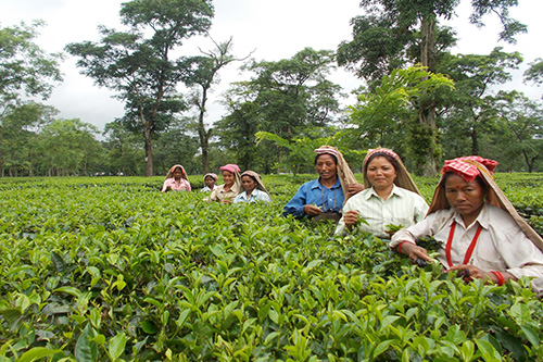 Image result for west bengal tea gardens